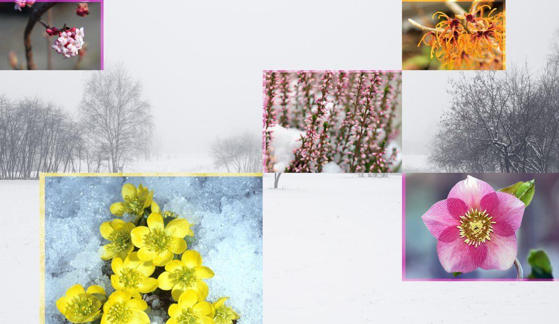 Blühen auch im Winter- Pflanzen für die kalte Jahreszeit